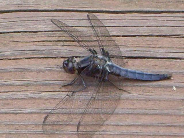 Maywoods - May 2009 - Dragonfly